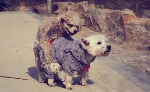 狗狗喜欢爬跨怎么办?